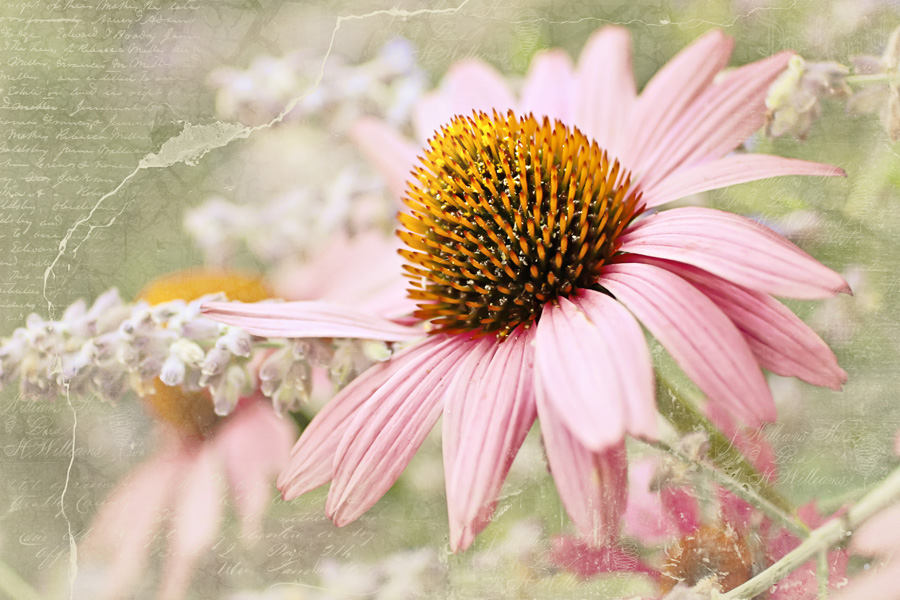 Cone flower – New photo recipe