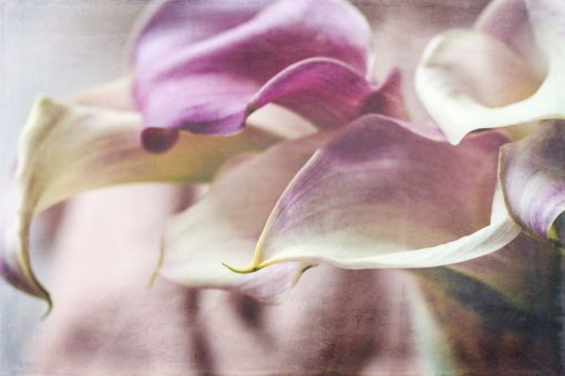 Fine Art texture on calla lilies