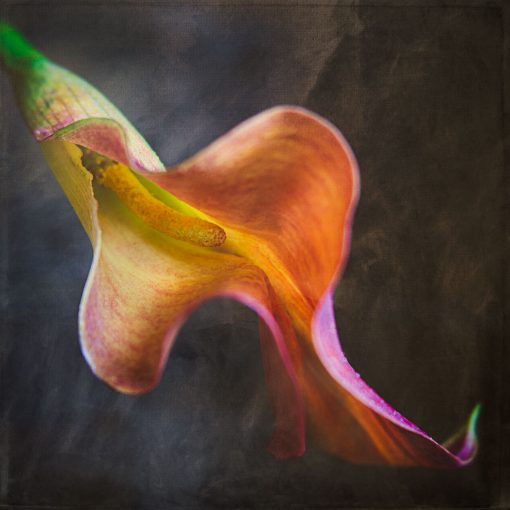 calla lily photo with textures added in photoshop